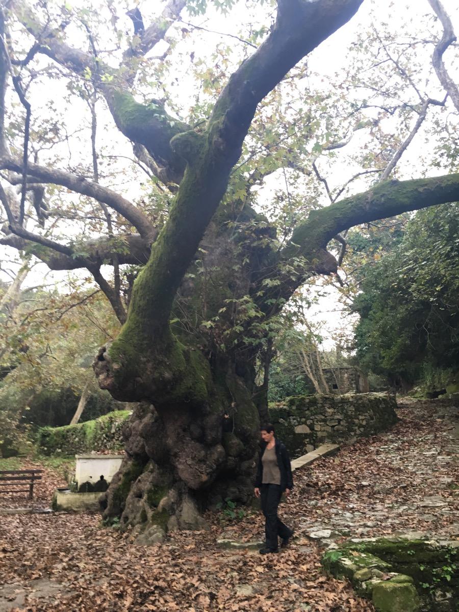 Ein mystischer Ort - die alte Platane